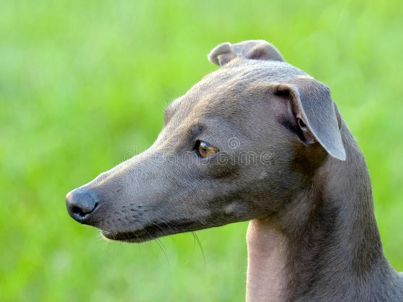 The portrait of Italian Greyhound stock image