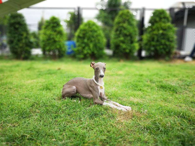 Portrait of Italian Greyhound puppy with pearl collar sitting in. The summer park stock images
