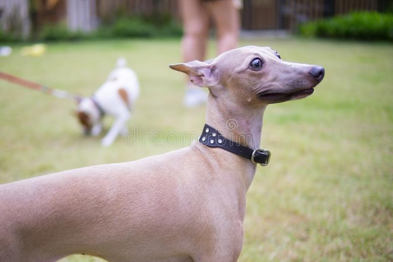 Portrait of Italian Greyhound wearing leather collar sitting in the summer park., closeup royalty free stock images