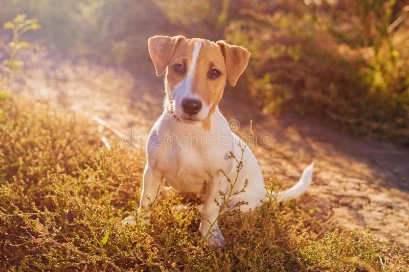 Portrait of Jack Russell Terrier. charming puppy dog walking on autumn alley royalty free stock images