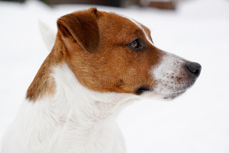 Portrait of Jack Russell Terrier Dog in the snow stock photo