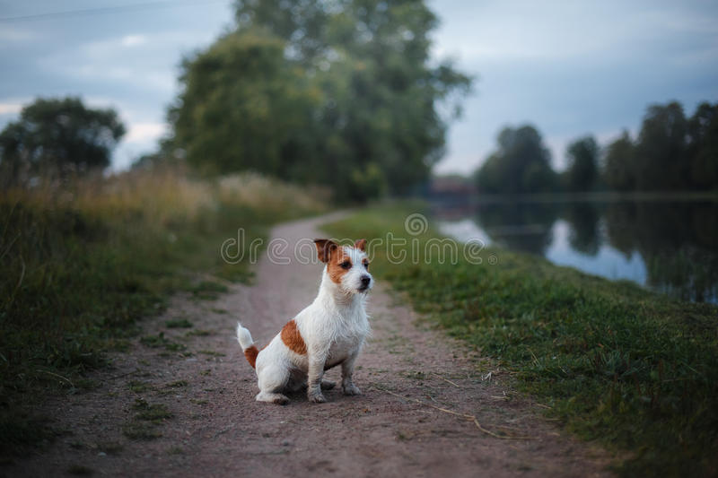 Portrait of a Jack Russell terrier outdoors. A dog on a walk in the park. Portrait of a Jack Russell terrier outdoors. A small dog on a walk in the park stock photo