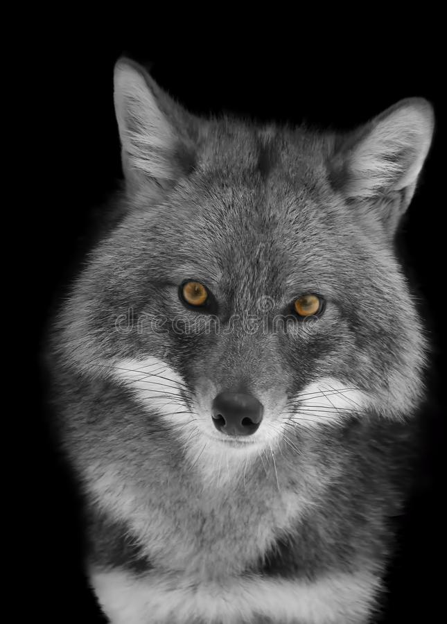 Portrait of a Jackal in black and white format royalty free stock image