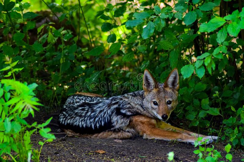 Portrait of a jackal. The Jackal Canis aureus is a species of canine beast. It mainly inhabits southeastern Europe and southwest, south Asia, but also some royalty free stock photos