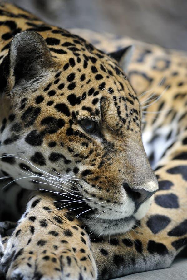 Portrait Of Jaguar Royalty Free Stock Photography
