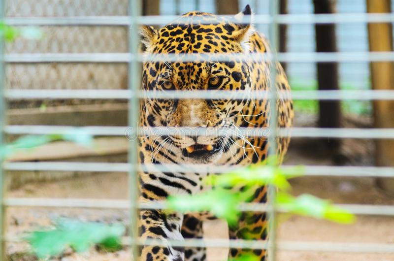 Portrait of Jaguar Close Up. Panthera Onca. Big Cat in a Zoo Cage stock image