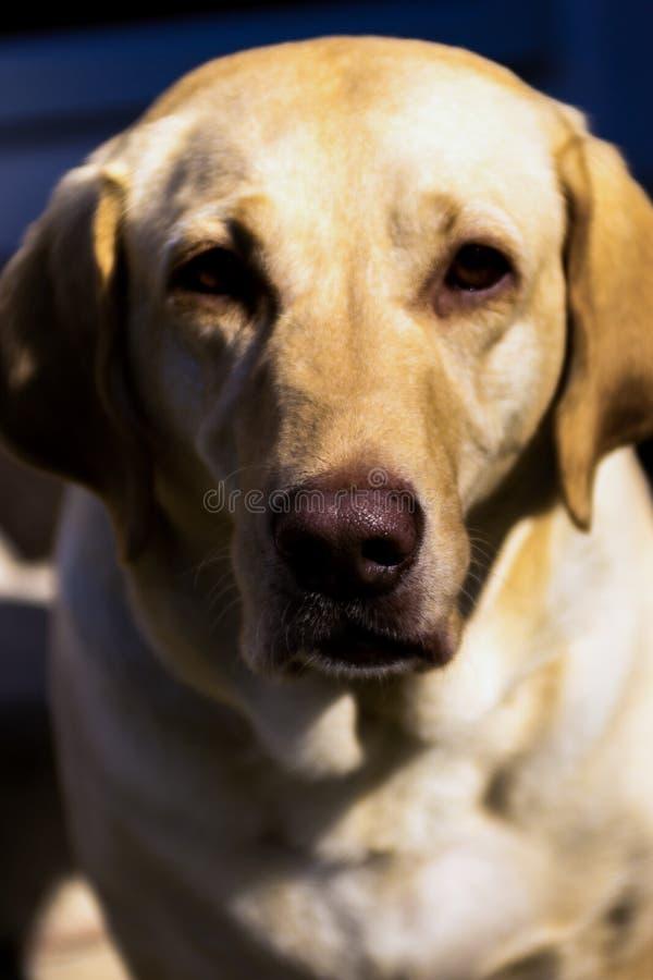 Portrait jaune de laboratoire photo libre de droits
