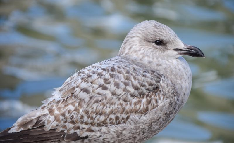 Young Herring Gull. A portrait of a Juvenille Herring Gull stock photography
