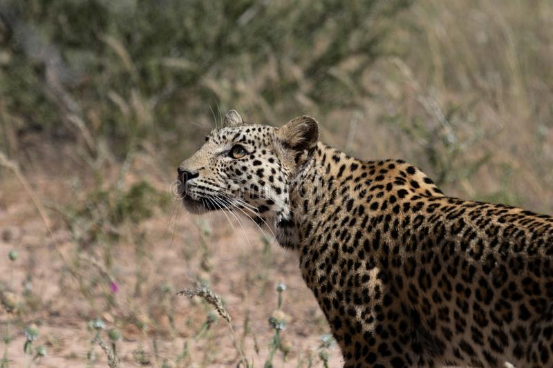 Portrait of Kalahari Leopard hunting royalty free stock photo