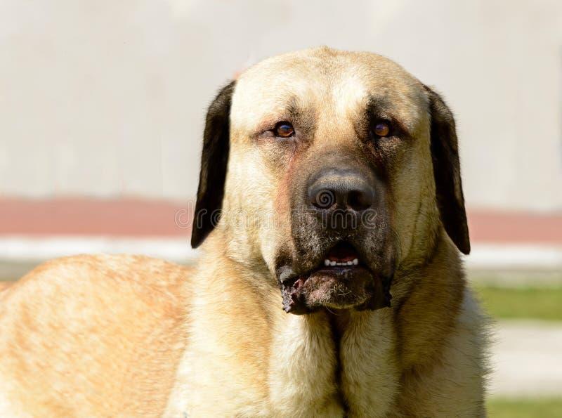 Kangal Shepherd Dog portrait. stock images