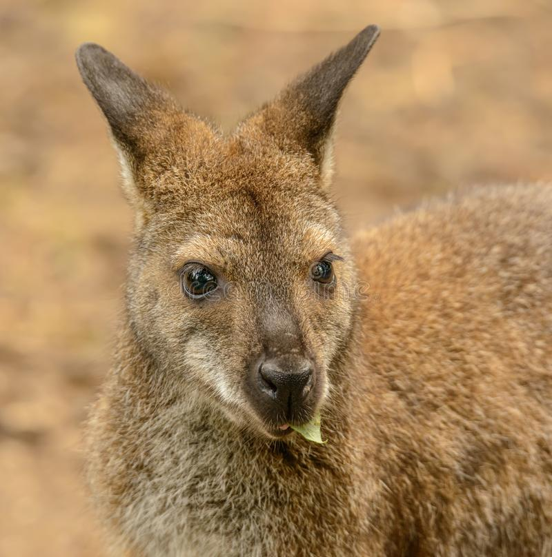 Portrait of a kangaroo eating a leaf front royalty free stock photography