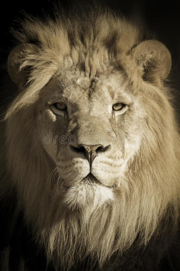 Portrait Of A King African Lion royalty free stock image
