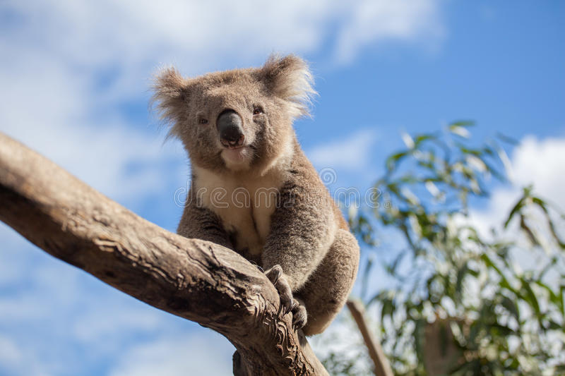 Portrait of Koala sitting on a branch.  royalty free stock image