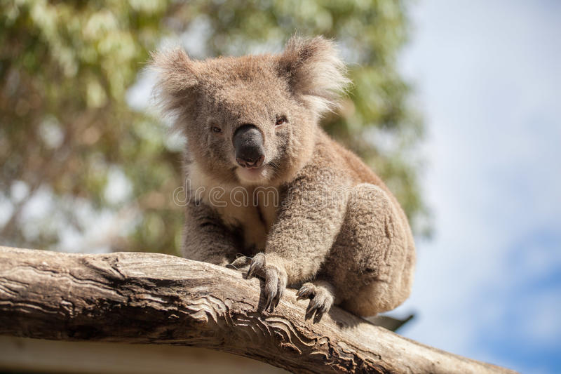Portrait of Koala sitting on a branch.  stock photo