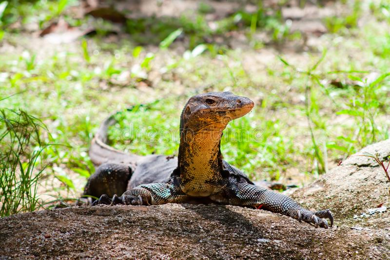 Portrait of a Komodo Dragon on a piece of rock showing side profile - full body on a bright sunny day royalty free stock images
