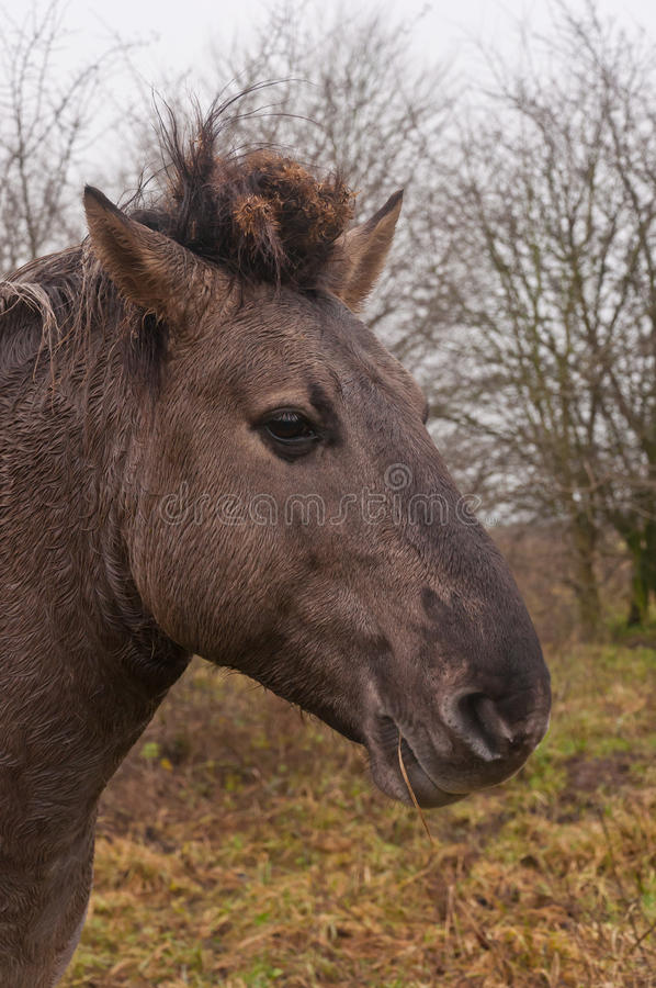 Download Portrait of a Konik horse stock photo. Image of curious - 22601374