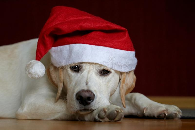 Portrait of a labrador dog wearing santa claus hat royalty free stock images