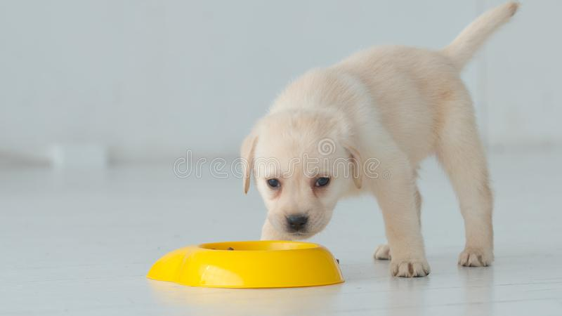 Portrait of labrador puppy eats from a yellow bowl on a floor stock image
