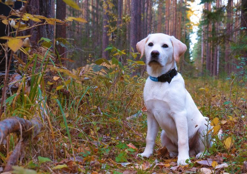 Portrait of a Labrador Retriever puppy in a park or forest. stock images