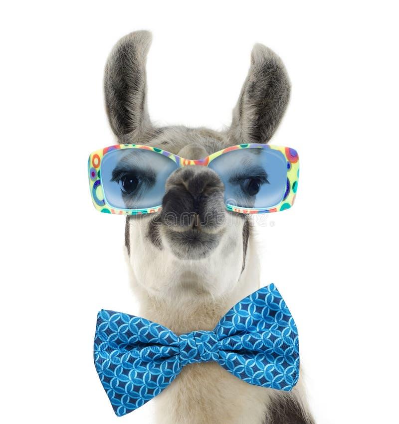 Portrait of a Lama - Lama glama wearing sunglasses stock image