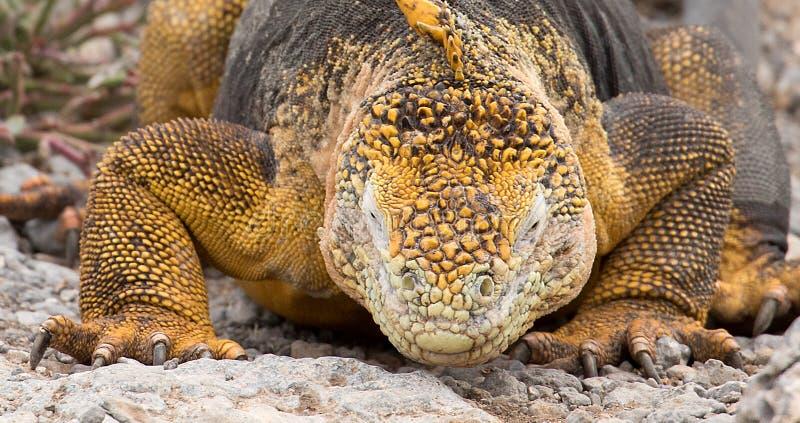 Land iguana on Galapagos Islands, Ecuador. Portrait of land iguana on Galapagos Islands, Ecuador on rocky ground stock images