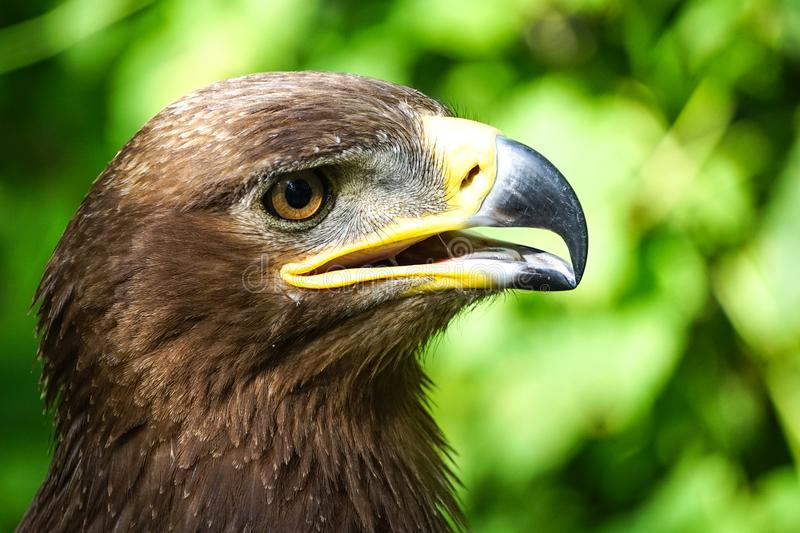 Portrait of large birds of prey in the bright light green blurred background. royalty free stock photography