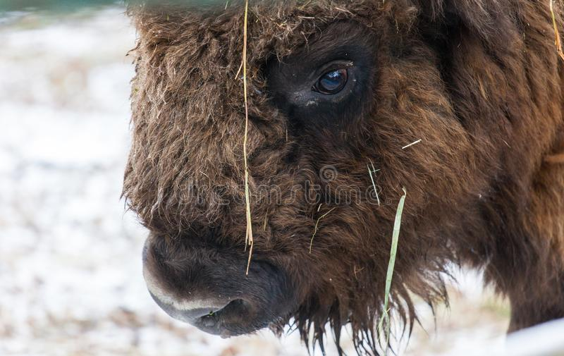 Portrait of large brown wisent with big horns in the winter forest. Wild European brown bison, Bison Bonasus, in winter stock image