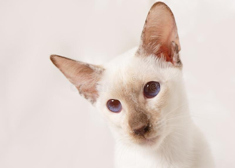 Portrait of Large Eared Siamese Cat. A blue eyed siamese cat with exceptionally large ears is shown in facial portrait on a pale background. The cat would stock photography