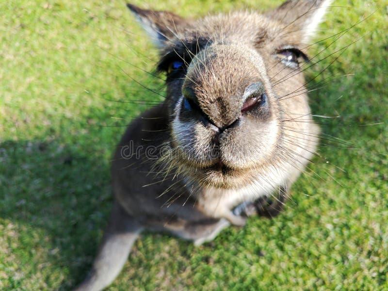 Portrait large kangaroo nose close-up stock photo