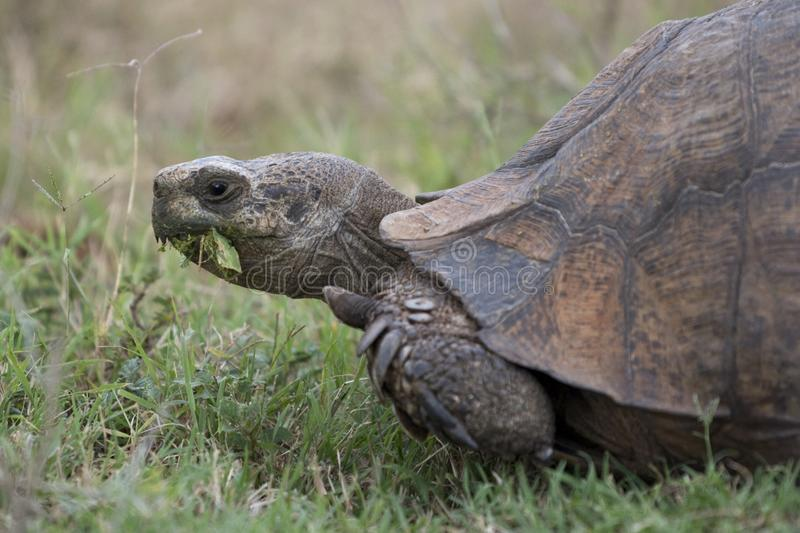 Portrait of large Leopard tortoise eating green leaves. Close up portrait photo of large wild Leopard tortoise with mouth full of green leaves, as seen from a stock images