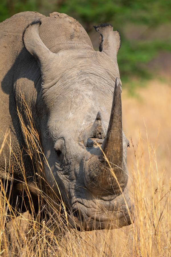 Portrait of a large white rhino feeding in brown grass. Portrait of a large white rhino feeding in long brown grass stock photos