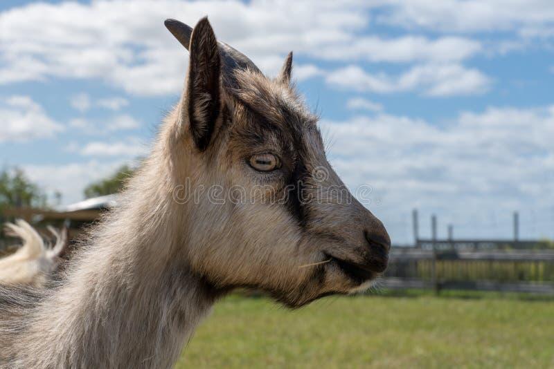 Portrait latéral d'une chèvre masculine noire et blanche masculine images libres de droits