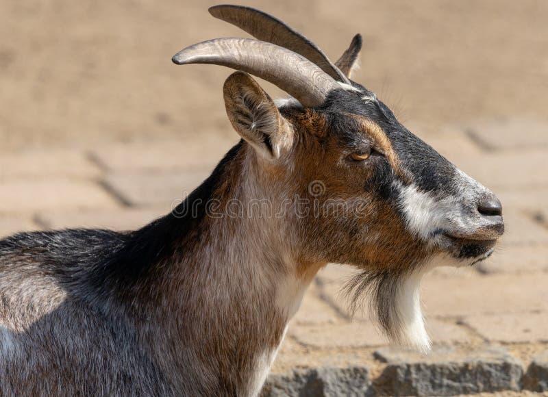 Portrait latéral d'une chèvre, d'un Capra scientifique de nom, avec de petits klaxons et long goatbeard devant un fond brouillé image stock