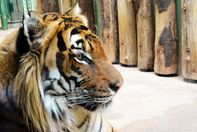 Portrait latéral de plan rapproché d'un tigre de Sumatran, regard à la droite photos libres de droits