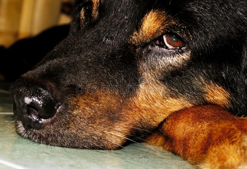 Portrait of a laying dog. Image. Portrait laying dog image animals pet puppy looking sad head sleep face concept home cute love friends stock images