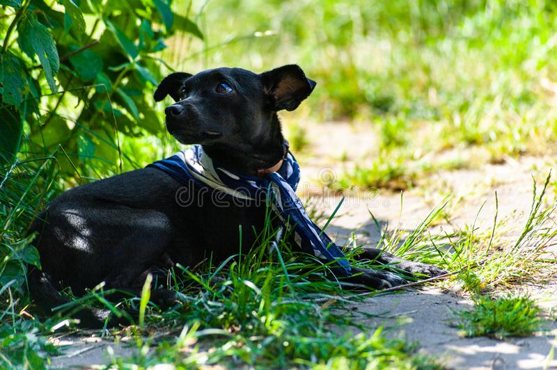 Portrait of laying small black dog, looking like a pincher breed with blue  neckerchief, looking aside the camera in back yard royalty free stock image