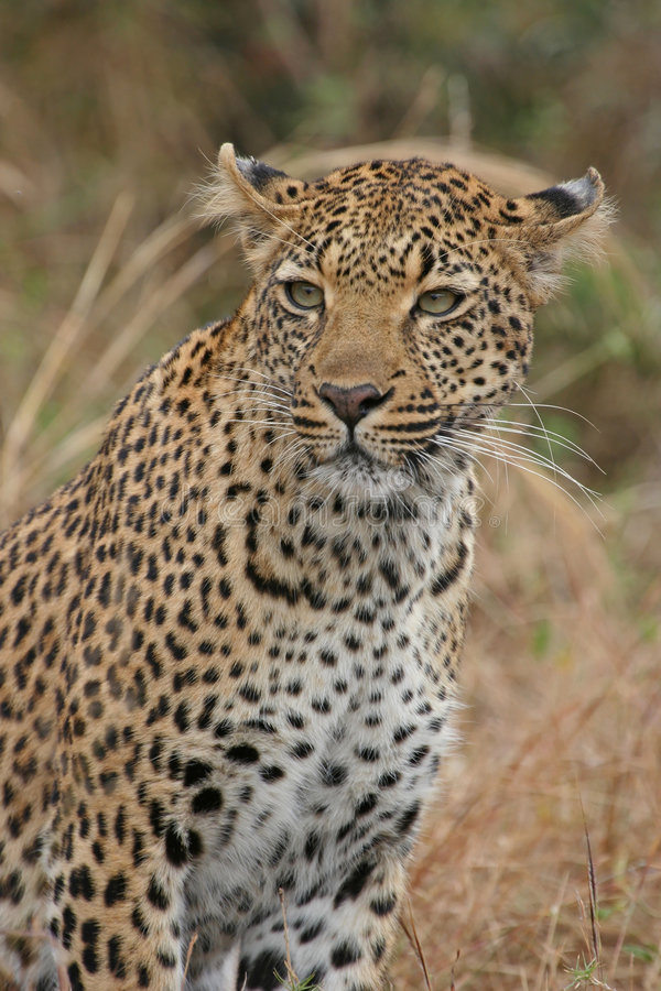 Portrait of leopard stock images