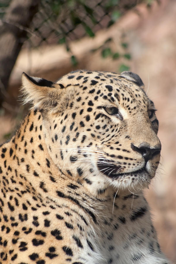 Download Portrait Of A Leopard Royalty Free Stock Images - Image: 25744629
