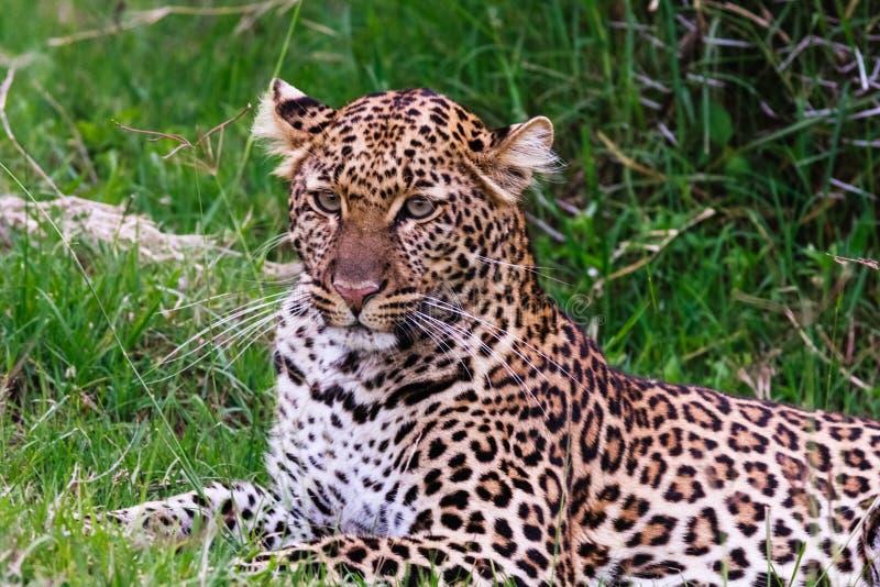 Portrait of a leopard lying on the grass. Kenya, Africa. Portrait of a leopard lying on the grass stock photos