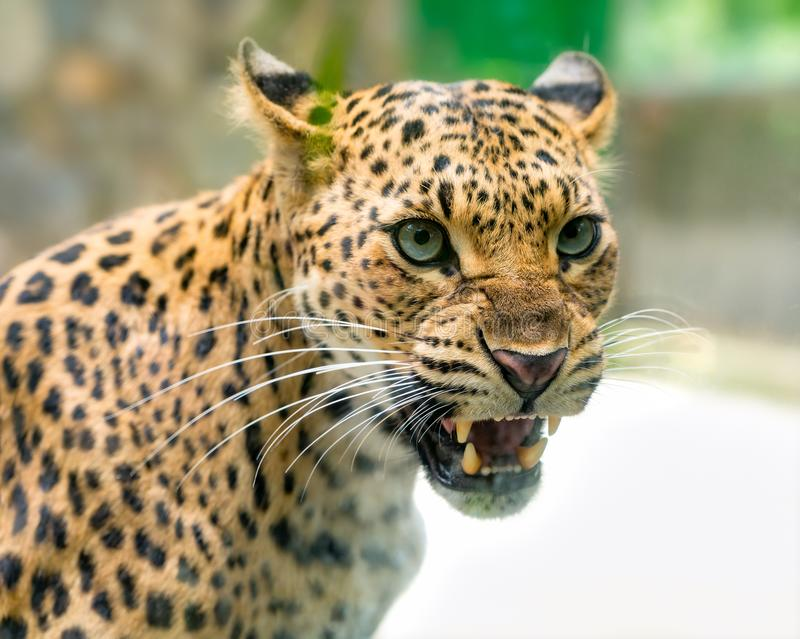 Portrait of leopard prints angry in the natural world. royalty free stock photography