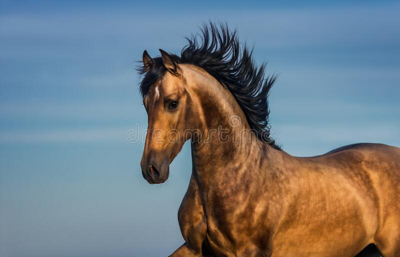 Portrait of light bay Andalusian horse stock image