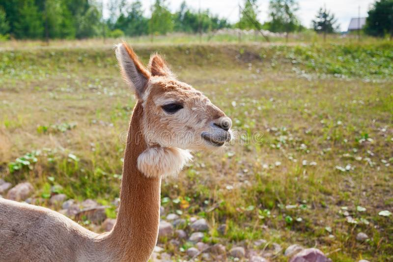 Light brown alpaca royalty free stock photo