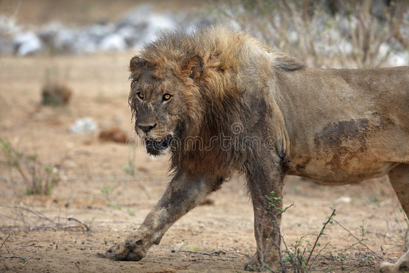 Portrait of lion. Closeup side portrait of adult lion walking outdoors stock photography