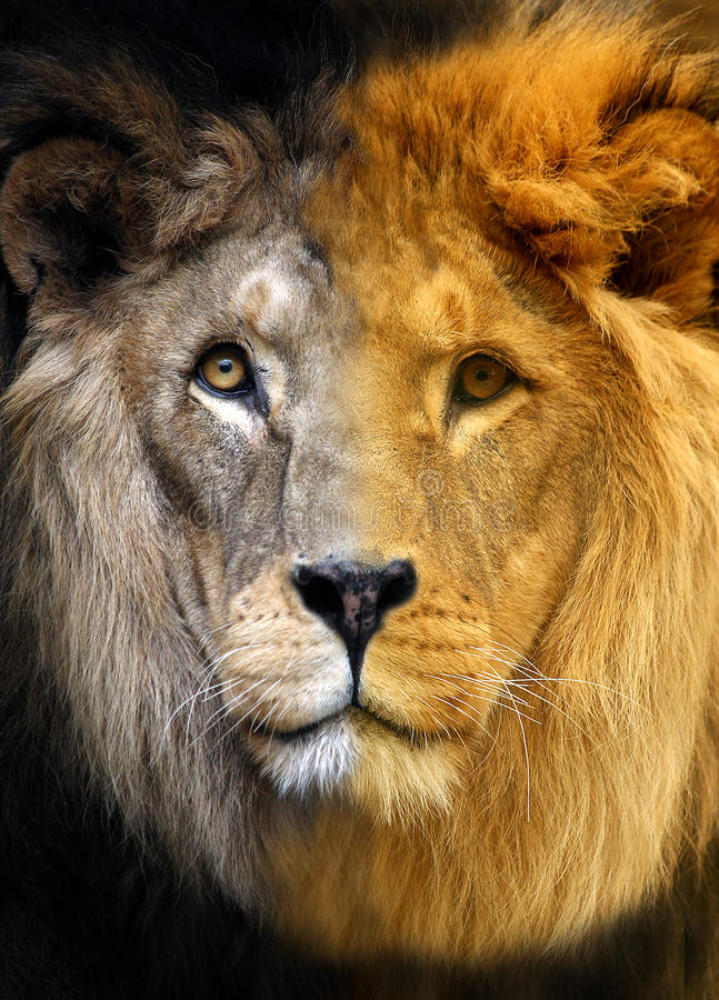 Download Portrait of Lion stock image. Image of bake, isolated - 14211783