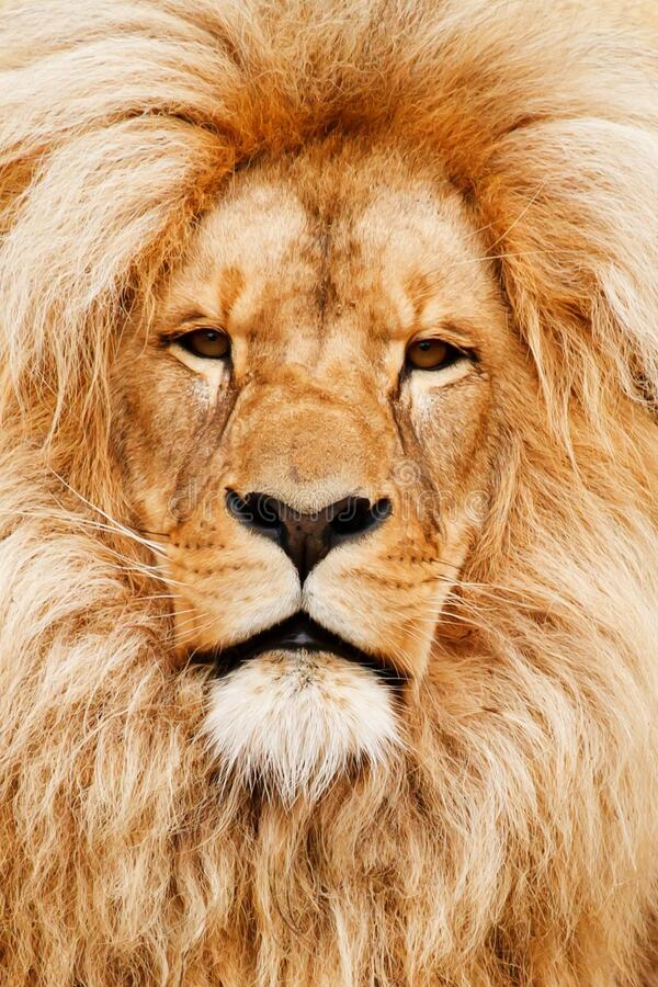 Portrait Of A Lion Free Public Domain Cc0 Image