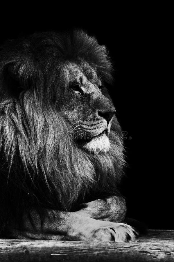 Portrait of Lion in black and white. Portrait of Lion King of the Jungle in black and white stock image