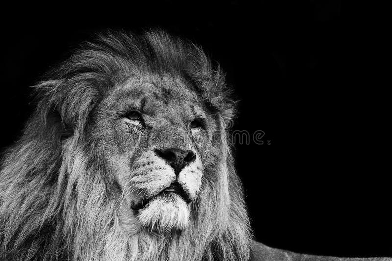 Portrait of Lion in black and white. Portrait of Lion King of the Jungle in black and white royalty free stock image