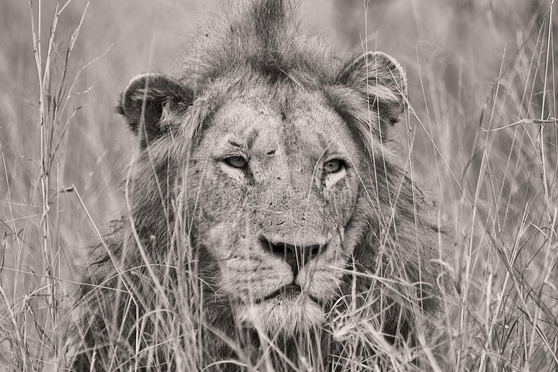 Portrait of a lion in black and white stock photos