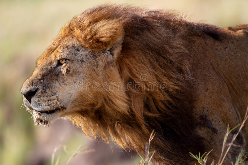 Portrait of Lion Clawed. With flowing mane. He is the oldest and most powerful lion from the Marsh Pride in Masai Mara, Kenya stock photo