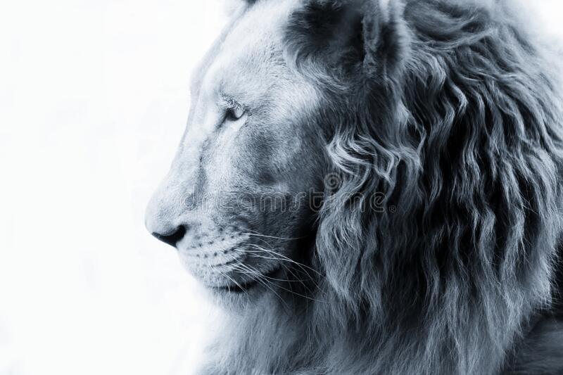 Portrait of a lion close-up royalty free stock photos